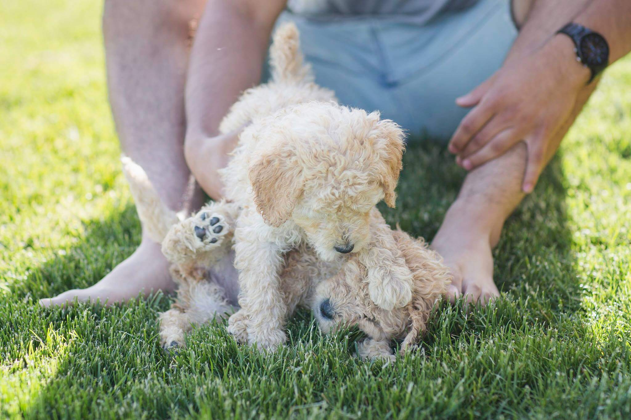 Labradoodle Puppies for Sale - Doodle Puppies for Sale